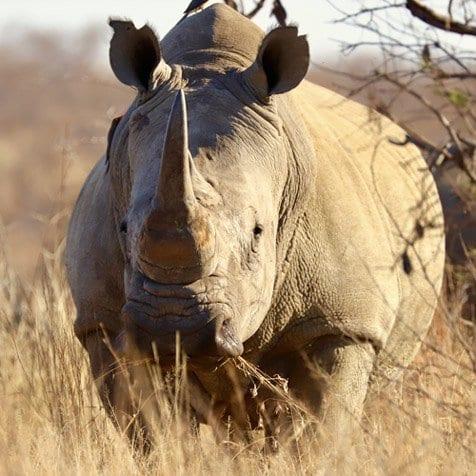 Rhino - Big 5 & 5 Star Safari Lodge Golden Impalas