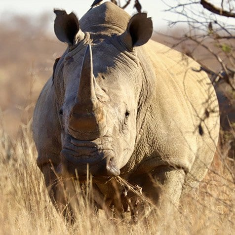 Rhino - Big 5 Dinokeng lodge